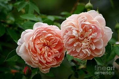 Photograph - A Pair Of Colette Roses by Living Color Photography Lorraine Lynch