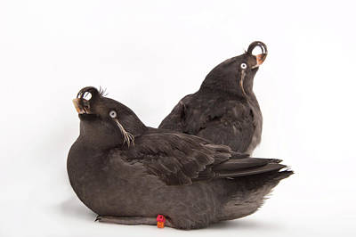 Auklets Wall Art - Photograph - A Pair Of Crested Auklets, Aethia by Joel Sartore