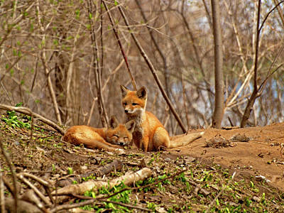 A Pair Of Cute Kit Foxes 1 Print by Thomas Young
