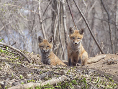 A Pair Of Cute Kit Foxes 3 Print by Thomas Young