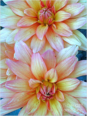 Photograph - A Pair Of Dahlias by Kay Novy