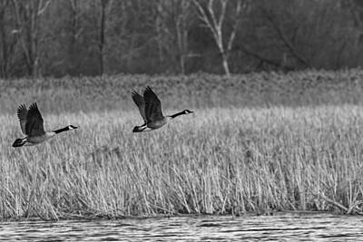 Canadian Marsh Photograph - A Pair Of Geese Leaving The Marsh In Black And White by Thomas Young