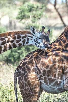 Photograph - A Pair Of Giraffes, Giraffa by Tom Murphy