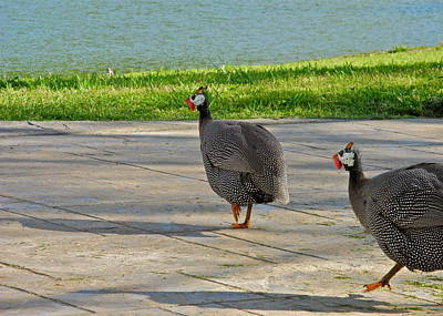 Photograph - A Pair Of Guinea Hens by Kirsten Giving