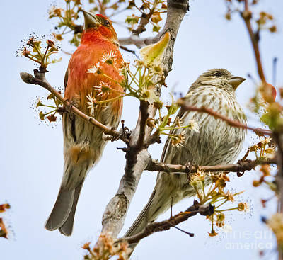Photograph - A Pair Of House Finches by Ricky L Jones