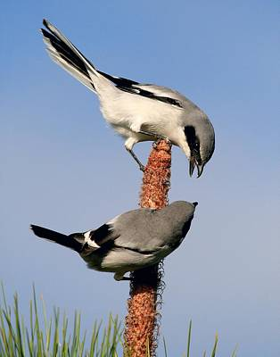 Photograph - A Pair Of Loggerhead Shrikes by Ira Runyan