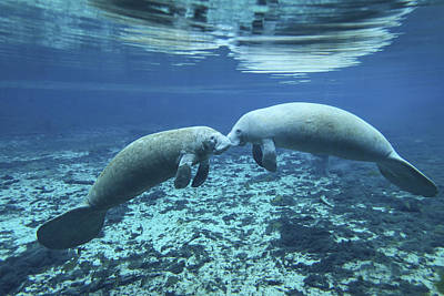 A Pair Of Manatees Appear Art Print by Michael Wood