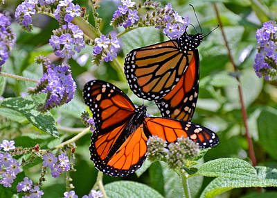 Photograph - A Pair Of Monarch Butterflies by Susan Wiedmann