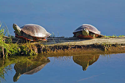 Painted Turtle Wall Art - Photograph - A Pair Of Painted Turtles Sun by Chuck Haney
