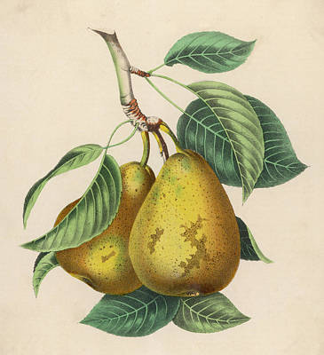 Pear Drawing - A Pair Of Pears by Mary Evans Picture Library