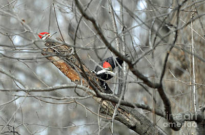 Photograph - A Pair Of Pileated Woodpeckers Forage In Winter by Maureen Cavanaugh Berry