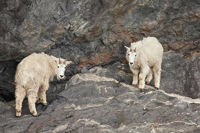 Rocky Mountain Goat Photograph - A Pair Of Rocky Mountain Goats Come by Hugh Rose