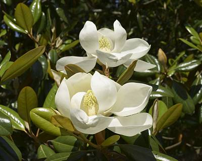 Photograph - A Pair Of Southern Magnolia Blossoms by MM Anderson