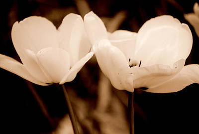 Photograph - A Pair Of Tulips by Kathy Sampson