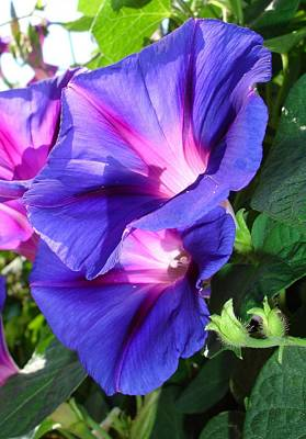 Photograph - A Pair Of Vibrant Morning Glories In Full Bloom by Tracey Harrington-Simpson