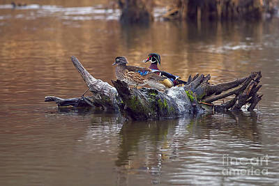 Photograph - A Pair Of Wood Ducks In The Springtime by Sharon Talson