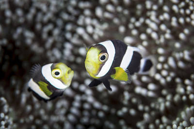 A Pair Of Young Saddleback Anemonefish Art Print by Ethan Daniels
