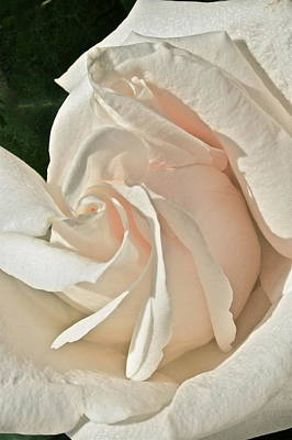 Photograph - A Pale Rose by Ruth Edward Anderson