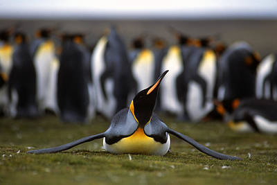 Austral Wall Art - Photograph - A Parent King Penguin Stretches by Kevin Moloney