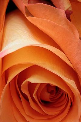 Photograph - A Pareo Rose by Joe Kozlowski