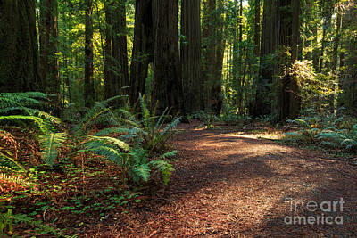 Photograph - A Path In The Redwoods by James Eddy