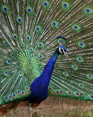 Photograph - A Peacock 2 by Ernie Echols