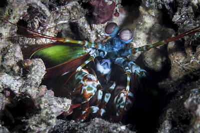 Peacock Mantis Shrimp Photograph - A Peacock Mantis Shrimp In Lembeh by Ethan Daniels