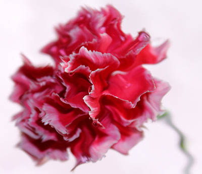 Pink Carnation Photograph - A Peculiar Love by Krissy Katsimbras