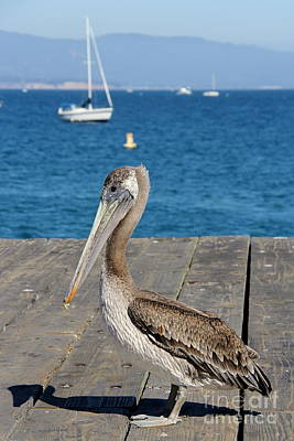 Photograph - A Pelican And It's Laughing Shadow by Suzanne Oesterling
