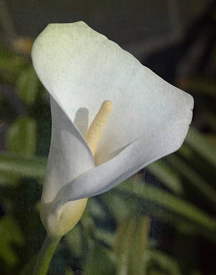 Photograph - A Perfect Calla Lilly by Maureen Cunningham