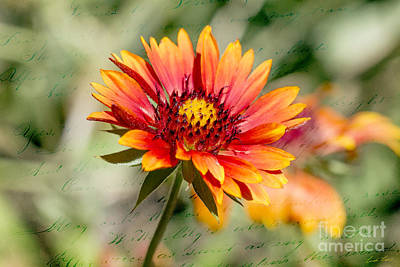 Gaillardia Photograph - A Picture Of Cheer by Linda Lees