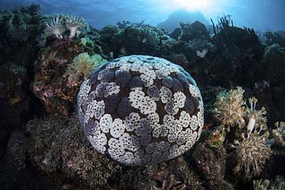 Pin Cushion Photograph - A Pin Cushion Starfish Clings by Ethan Daniels