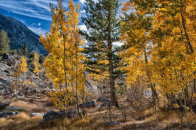 Mountain Royalty-Free and Rights-Managed Images - A Pine in the Aspens by Cat Connor