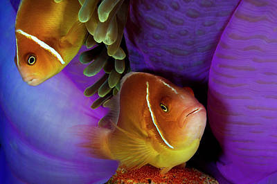 A Pink Anemonefish Fans The Eggs Art Print by David Doubilet