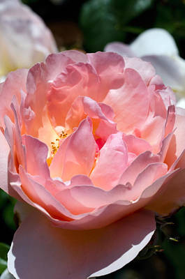 Photograph - A Pink Rose by Teri Schuster