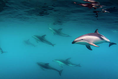 Ocean Mammals Photograph - A Pod Of Dusky Dolphins (lagenorhynchus by James White