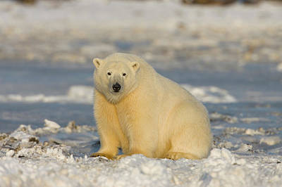 A Polar Bear Sits On The Frozen Surface Art Print by Hugh Rose