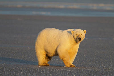 A Polar Bear Walks Across Thin Ice Art Print