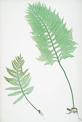 Vegetation Drawing - A. Polypodium Vulgare Cambricum. B. P. Vulgare Crenatum by Artokoloro
