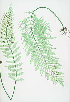 Vegetation Drawing - A. Polypodium Vulgare Semilacerum. B. P. Vulgare Serratum by Artokoloro