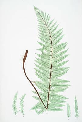 Prickly Drawing - A. Polystichum Angulare. B. P. Angulare Hastulatum. C. P by Artokoloro