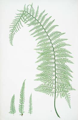 Prickly Drawing - A. Polystichum Angulare Subtripinnatum. B. P by Artokoloro