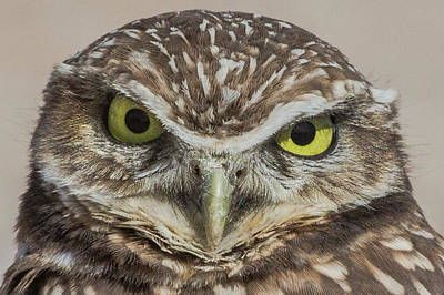Photograph - A Portrait Of A Burrowing Owl, Athene by Kent Kobersteen