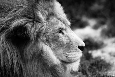 Lion Face Photograph - A Portrait Of An African Lion by Ellie Teramoto
