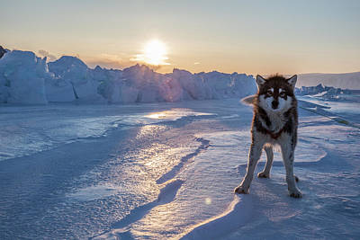 A Portrait Of Sled Dog On The Sea Ice Art Print