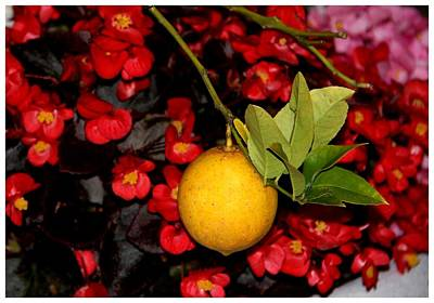 Photograph - A Potted Lemon by Frank Wickham