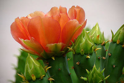 Cactus Southwest Cactus Flower Orange Wildflowers Nature Arizona Photograph - A Profile In Orange by Cindy McDaniel