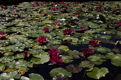 Photograph - A Profusion Of Cardinal Red Waterlilies by Georgia Mizuleva