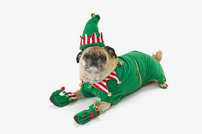 Best Friend Photograph - A Pug In A Christmas Elf Costumest by Corey Hochachka