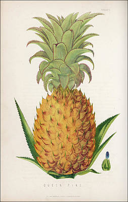Pineapple Drawing - A Queen Pineapple          Date 1871 by Mary Evans Picture Library